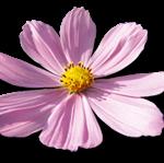 Blume_Ritter